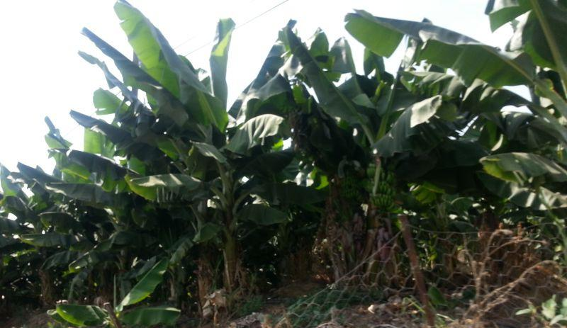 Перед Аланьей справа и слева от дороги растут банановые плантации